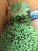 Женьшень, свежие корни и семена