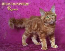 Котёнок красного мейн куна из питомника, шоу класса
