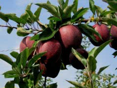 Яблоки сорта Джеромини