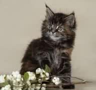Котята мейн-кун - лапы, уши, хвост XXL