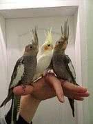 Птенцы попугая корелла, возраст 2 месяца