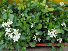 Комнатный ароматный лекарственный цветок - мурайя