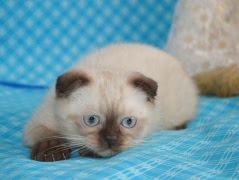 Вислоухие шотландские котята сил-поинт окраса