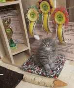 Продам котенка с родословной от титулванных родителей