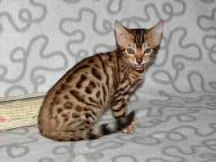 Бенгальские котята из питомника 'Yves Piaget'