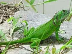 Зелёные игуаны