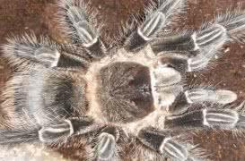 Продаются пауки птицееды