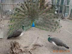 Синие и белые индийские павлины