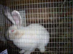 Кролики породы Белый Великан на племя
