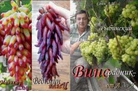 Рыбинский виноградник от А до Я