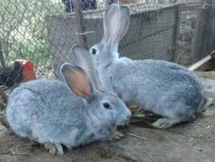 Шиншиллы, кролики калифорния, НЗБ и помесные