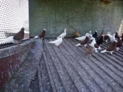 Продажа голубей различных окрасов
