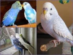 Волнистых попугаев можно купить в нашем питомнике