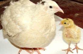 Цыплята, куры, перепелки, инкубационное яйцо