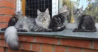 Котята мейн куны