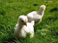Продажа кур, перепелов, уток, яйца и мясо птицы