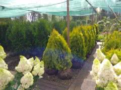 Саженцы плодовых, декоративных, хвойных растений