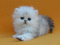 Котята персидские: золотая и серебристая шиншилла